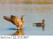 Купить «Greylag geese (Anser anser) on Lake, Hesse, Germany, Europe.», фото № 22313967, снято 27 февраля 2016 г. (c) age Fotostock / Фотобанк Лори