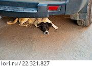 Купить «Бездомная собака лежит под машиной», фото № 22321827, снято 17 марта 2016 г. (c) nadegdaf / Фотобанк Лори