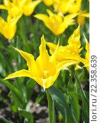 Красивые желтые тюльпаны в парке. Стоковое фото, фотограф Татьяна Кахилл / Фотобанк Лори