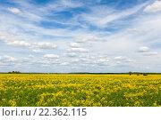 Купить «Синее небо и облака над желтым полем рапса», фото № 22362115, снято 15 мая 2014 г. (c) Илья Бесхлебный / Фотобанк Лори