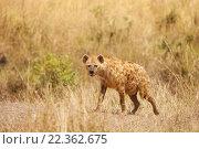 Купить «Пятнистая гиена», фото № 22362675, снято 19 августа 2015 г. (c) Сергей Новиков / Фотобанк Лори