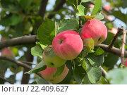 Яблоки наливные красные на ветке. Стоковое фото, фотограф Дарья Каба / Фотобанк Лори