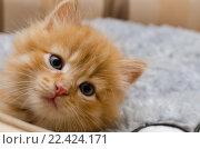 Портрет рыжего котенка. Стоковое фото, фотограф Полина Соколова / Фотобанк Лори