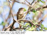 Купить «Соловей. Thrush Nightingale (Luscinia luscinia).», фото № 22425647, снято 11 мая 2013 г. (c) Василий Вишневский / Фотобанк Лори