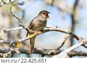 Купить «Соловей. Thrush Nightingale (Luscinia luscinia).», фото № 22425651, снято 11 мая 2013 г. (c) Василий Вишневский / Фотобанк Лори