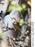 Купить «Соловей. Thrush Nightingale (Luscinia luscinia).», фото № 22425655, снято 11 мая 2013 г. (c) Василий Вишневский / Фотобанк Лори