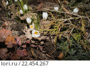 Крокусы, цветущие весной. Стоковое фото, фотограф Александр Степанов / Фотобанк Лори