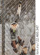 Купить «Красный shanked немейский лангур», фото № 22460347, снято 22 марта 2016 г. (c) Михаил Пряхин / Фотобанк Лори