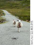 Овцы на дороге. Стоковое фото, фотограф Ольга Морозова / Фотобанк Лори