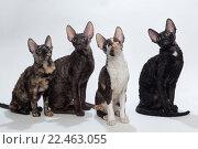 Четыре кошки породы Корниш-Рекс сидят на сером фоне и смотрят наверх. Стоковое фото, фотограф Okssi / Фотобанк Лори