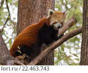 Купить «Красная панда», фото № 22463743, снято 22 февраля 2016 г. (c) Ekaterina Andreeva / Фотобанк Лори