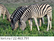 Зебры в природном заповеднике Этоша, Намибия (2016 год). Стоковое фото, фотограф Знаменский Олег / Фотобанк Лори