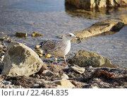 Купить «Чайка с крабом в клюве», эксклюзивное фото № 22464835, снято 20 сентября 2014 г. (c) Dmitry29 / Фотобанк Лори