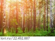 Купить «Лесной пейзаж, березы и ели, освещенные солнцем на закате», фото № 22492887, снято 18 января 2019 г. (c) Зезелина Марина / Фотобанк Лори