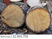 Купить «Распиленное на большие чурки толстое дерево в посёлке Вырица Ленинградской области», фото № 22493759, снято 20 марта 2016 г. (c) Максим Мицун / Фотобанк Лори