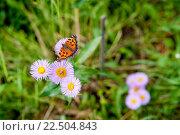Купить «Бабочка Aglais urticae», фото № 22504843, снято 9 июля 2011 г. (c) Кузнецов Дмитрий / Фотобанк Лори