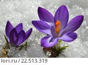 Крокусы в снегу. Стоковое фото, фотограф Калинина Наталья / Фотобанк Лори
