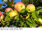 Яблоки на дереве. Стоковое фото, фотограф Старостин Сергей / Фотобанк Лори