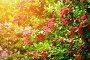 Боярышник с ярко-розовыми цветами, фото № 22578471, снято 26 июня 2017 г. (c) Зезелина Марина / Фотобанк Лори