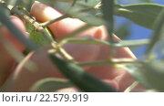 Hand picking a green olive from the tree. Стоковое видео, видеограф Данил Руденко / Фотобанк Лори