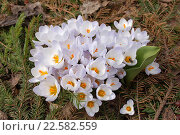 Купить «Бело-голубые цветы крокусов на фоне хвои и листа тюльпана», фото № 22582559, снято 9 апреля 2016 г. (c) Бабкина Марина / Фотобанк Лори