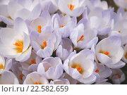 Купить «Фон из цветов крокусов», фото № 22582659, снято 21 ноября 2019 г. (c) Бабкина Марина / Фотобанк Лори