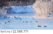 Купить «Swans on lake in the morning mist at early morning», видеоролик № 22588771, снято 19 марта 2016 г. (c) Serg Zastavkin / Фотобанк Лори