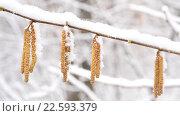 Купить «Снег на серёжках ольхи», видеоролик № 22593379, снято 2 октября 2015 г. (c) Валерий Гусак / Фотобанк Лори