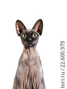 Купить «Кошка породы канадский сфинкс на белом фоне», фото № 22600979, снято 31 марта 2016 г. (c) Стивен Жингель / Фотобанк Лори