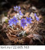 Купить «Цветы печеночницы (перелески) в весеннем лесу», фото № 22605163, снято 1 апреля 2016 г. (c) Ксения Семенова / Фотобанк Лори