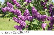 Купить «Ветки цветущей сирени колышутся на ветру», видеоролик № 22636447, снято 19 апреля 2016 г. (c) Наталья Волкова / Фотобанк Лори