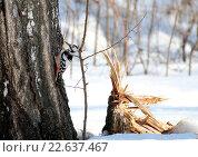 Купить «Дятел сидит на берёзе», фото № 22637467, снято 20 марта 2016 г. (c) Марина Орлова / Фотобанк Лори