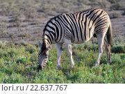 Зебра. Национальный парк Этоша, Намибия (2016 год). Стоковое фото, фотограф Знаменский Олег / Фотобанк Лори