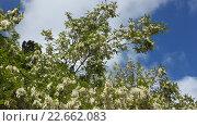 Купить «Цветущее дерево белой акации на фоне неба», фото № 22662083, снято 17 мая 2015 г. (c) DiS / Фотобанк Лори