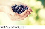 Купить «close up of woman hands holding blueberries», фото № 22670643, снято 28 апреля 2015 г. (c) Syda Productions / Фотобанк Лори
