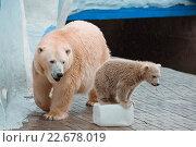 Молодая белая медведица играет с канистрой под присмотром мамы в Новосибирском зоопарке. Стоковое фото, фотограф Дункель Артем / Фотобанк Лори