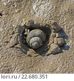 Купить «Моллюск обитающий в Сибири - Живородка речная ( Viviparus contectus ). Моллюск закапывается в песок после спада уровня воды», фото № 22680351, снято 24 апреля 2016 г. (c) Евгений Мухортов / Фотобанк Лори