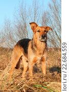 Купить «Airedale-Terrier-Shepherd», фото № 22684559, снято 11 апреля 2016 г. (c) age Fotostock / Фотобанк Лори