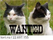 Купить «Кот - хулиган анфас и профиль с надписью wanted», фото № 22697155, снято 19 сентября 2015 г. (c) Pukhov K / Фотобанк Лори