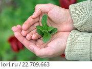Зеленые листья мяты в женских ладонях. Стоковое фото, фотограф Михаил Бессмертный / Фотобанк Лори