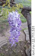 Купить «Ветка цветущей глицинии в парке», фото № 22711531, снято 23 апреля 2016 г. (c) DiS / Фотобанк Лори