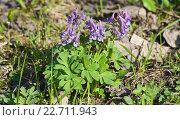 Купить «Цветущая хохлатка плотная (Corydalis solida)», фото № 22711943, снято 2 мая 2013 г. (c) Алёшина Оксана / Фотобанк Лори