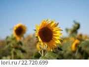 Поле подсолнухов на фоне голубого неба. Стоковое фото, фотограф Павел Сарычев / Фотобанк Лори