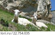 Купить «Козы лежат на склоне горы», видеоролик № 22754035, снято 3 мая 2016 г. (c) Александр Устич / Фотобанк Лори