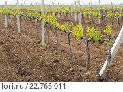 Крымские виноградники весной. Стоковое фото, фотограф Ольга Козина / Фотобанк Лори