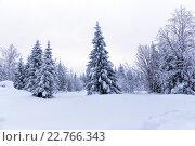 Купить «Еловый лес зимой. Зимний пейзаж», фото № 22766343, снято 3 января 2016 г. (c) Евгений Ткачёв / Фотобанк Лори