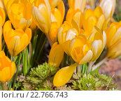 Купить «Желтые крокусы, сорт Маммут», фото № 22766743, снято 24 апреля 2016 г. (c) Ekaterina Andreeva / Фотобанк Лори