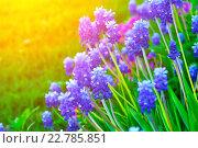 Купить «Крупным планом синие цветы мускари», фото № 22785851, снято 5 мая 2016 г. (c) Зезелина Марина / Фотобанк Лори
