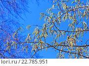 Купить «Осина или Тополь дрожащий (Pоpulus tremula). Цветущие ветви с серёжками», фото № 22785951, снято 22 сентября 2012 г. (c) Евгений Мухортов / Фотобанк Лори