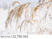 Жёлтая сухая трава в инее. Стоковое фото, фотограф Рамиль Гибадуллин / Фотобанк Лори